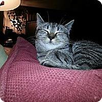 Adopt A Pet :: Gumbo - Richmond, VA