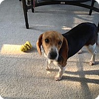 Adopt A Pet :: Amber - Alexandria, VA