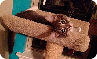 Domestic Mediumhair Cat for adoption in Coppell, Texas - Leo