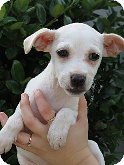 Chihuahua/Jack Russell Terrier Mix Puppy for adoption in Middleburg, Florida - Elsa
