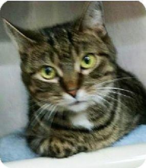 Domestic Shorthair Cat for adoption in Hillside, Illinois - Miss Kitty