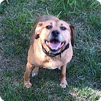 Beagle Mix Dog for adoption in Independence, Missouri - Sugar - Courtesy Listing