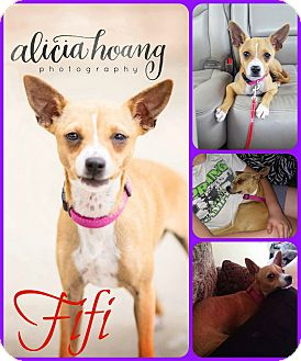 Italian Greyhound/Chihuahua Mix Dog for adoption in Ft Worth, Texas - Fifi