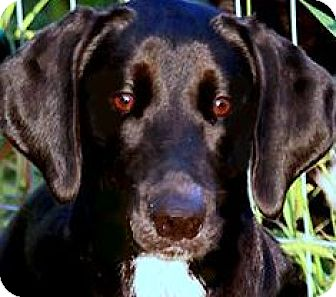 "Labrador Retriever Mix Puppy for adoption in Wakefield, Rhode Island - JASMINE(THE ""TOTAL"" LAB PUPPY!"