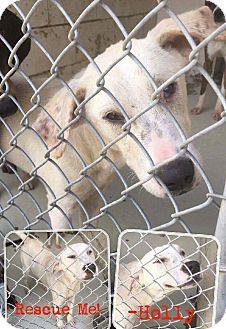 Pointer/Labrador Retriever Mix Dog for adoption in Hanna City, Illinois - Holly-adoption pending