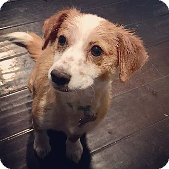Spaniel (Unknown Type)/Terrier (Unknown Type, Small) Mix Puppy for adoption in San Diego, California - Cheddar