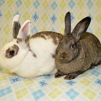 Adopt A Pet :: Hummingbird and Chickadee - Chesterfield, MO