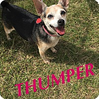 Adopt A Pet :: Thumper - Converse, TX