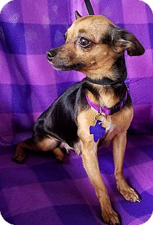 Chihuahua Mix Dog for adoption in Houston, Texas - Roxy