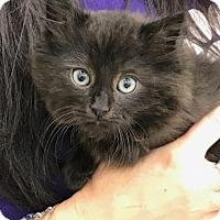 Adopt A Pet :: Enzo - Cuyahoga Falls, OH
