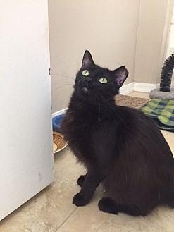Domestic Mediumhair Cat for adoption in Oviedo, Florida - Sybil