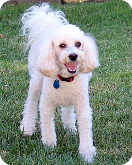 Poodle (Miniature) Dog for adoption in Antioch, California - Nigel