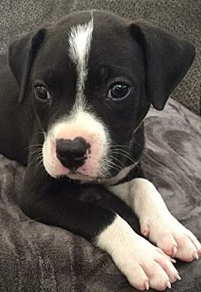 American Staffordshire Terrier Mix Puppy for adoption in San Diego, California - Oreo