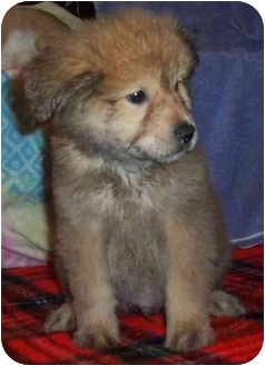 Golden Retriever/Chow Chow Mix Puppy for adoption in Kansas City, Missouri - Doogie