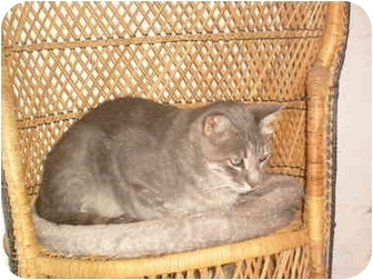Domestic Shorthair Cat for adoption in Anton, Texas - Jack