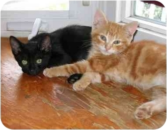 Domestic Shorthair Kitten for adoption in Toronto, Ontario - Romeo
