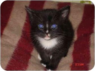 Domestic Shorthair Kitten for adoption in Charlotte, North Carolina - Socks