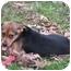 Photo 3 - German Shepherd Dog/Hound (Unknown Type) Mix Puppy for adoption in Brattleboro, Vermont - Joan