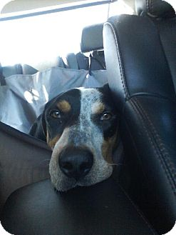 Bluetick Coonhound Dog for adoption in Schererville, Indiana - Mulligan (Mully)
