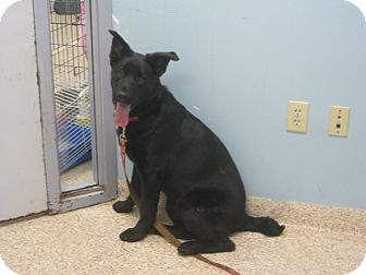 Labrador Retriever/German Shepherd Dog Mix Puppy for adoption in Chambersburg, Pennsylvania - Smokey