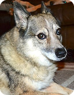 Husky/Welsh Corgi Mix Dog for adoption in Hagerstown, Maryland - Willow