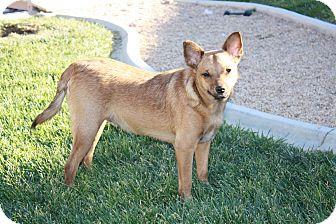 Australian Cattle Dog/Chihuahua Mix Dog for adoption in California City, California - Kipper