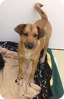 Shepherd (Unknown Type)/Labrador Retriever Mix Dog for adoption in Kalamazoo, Michigan - Willow