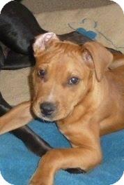 Boxer Mix Puppy for adoption in Kimberton, Pennsylvania - Max