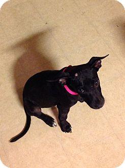 American Staffordshire Terrier Mix Puppy for adoption in Hockessin, Delaware - Martha