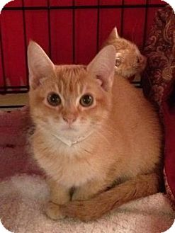 Domestic Shorthair Kitten for adoption in East Hanover, New Jersey - Clifford