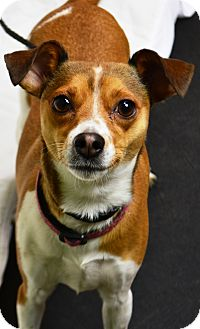 Chihuahua/Jack Russell Terrier Mix Dog for adoption in Fruit Heights, Utah - Ruby
