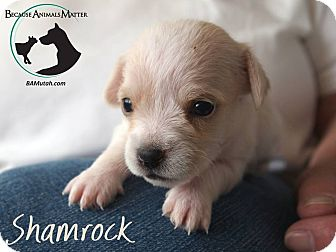 Podengo Portugueso Mix Puppy for adoption in Hurricane, Utah - SHAMROCK