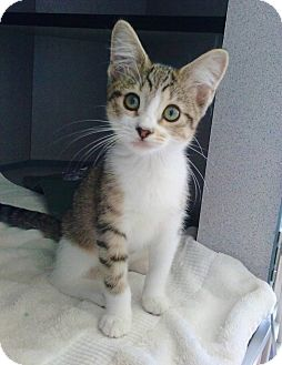 Domestic Shorthair Kitten for adoption in Riverview, Florida - Bella