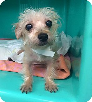 Yorkie, Yorkshire Terrier/Maltese Mix Dog for adoption in Oak Ridge, New Jersey - Pita