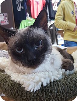 Siamese Cat for adoption in Arcadia, California - Penn