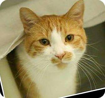 Domestic Shorthair Cat for adoption in Walworth, New York - GG