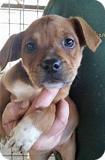 Pointer Mix Puppy for adoption in Gainesville, Florida - Eliza