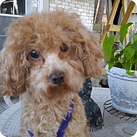 Adopt A Pet :: Josie - Conroe, TX