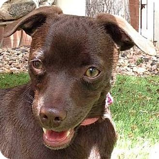 Miniature Pinscher/Chihuahua Mix Puppy for adoption in Hurricane, Utah - COCOA