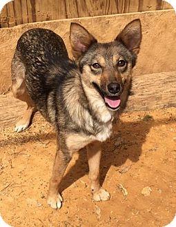 Siberian Husky/Australian Cattle Dog Mix Dog for adoption in Charlotte, North Carolina - Jackie