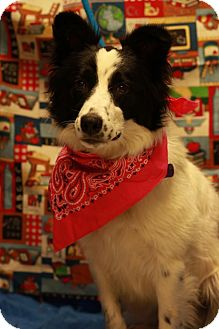 Border Collie Mix Dog for adoption in Twin Falls, Idaho - Hannah Abbott
