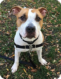 American Bulldog Mix Dog for adoption in Oak Park, Illinois - Boogie