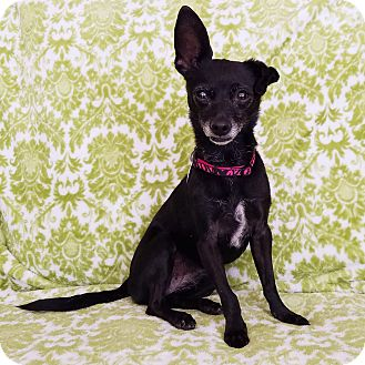 Chihuahua/Terrier (Unknown Type, Small) Mix Dog for adoption in Las Vegas, Nevada - Teaka