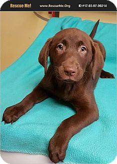 Labrador Retriever Puppy for adoption in Newtown, Connecticut - Godiva