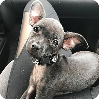 Chihuahua Puppy for adoption in Parsippany, New Jersey - Olive