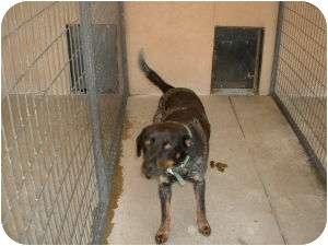 Labrador Retriever/Australian Cattle Dog Mix Dog for adoption in Cedar City, Utah - Chipper