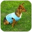 Photo 2 - Chihuahua Mix Dog for adoption in Corpus Christi, Texas - C.B.