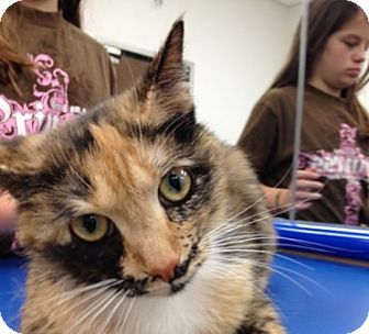 Calico Cat for adoption in Foster, Rhode Island - Spring