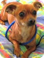 Chihuahua/Chihuahua Mix Dog for adoption in Bloomfield, Connecticut - Cootie