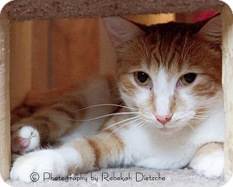 Domestic Shorthair Cat for adoption in Byron Center, Michigan - CJ (Charlie Jr)